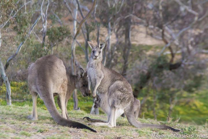 Tres canguros en los parques de Canberra en Australia