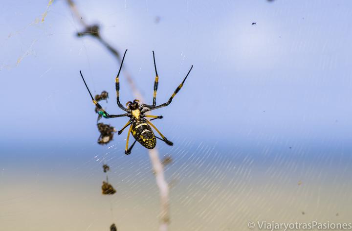 Araña amarilla y negra en el safari en el Kruger por libre en Sudáfrica