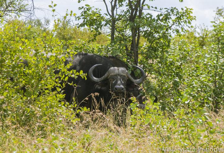 Búfalo en la vegetación en el safari en el Kruger por libre en Sudáfrica