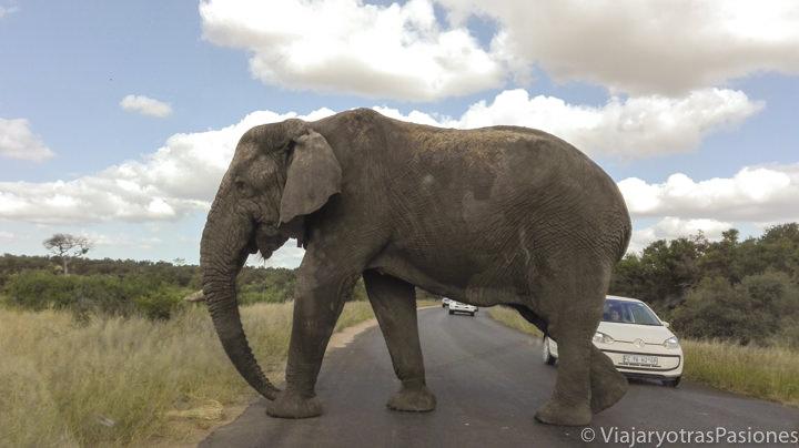 Elefante que cruza la carretera en el safari en el Parque Kruger en Sudáfrica