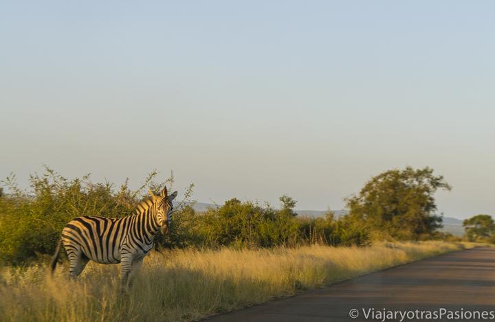 Una solitaria zebra al atardecer en el Parque Kruger, Sudáfrica
