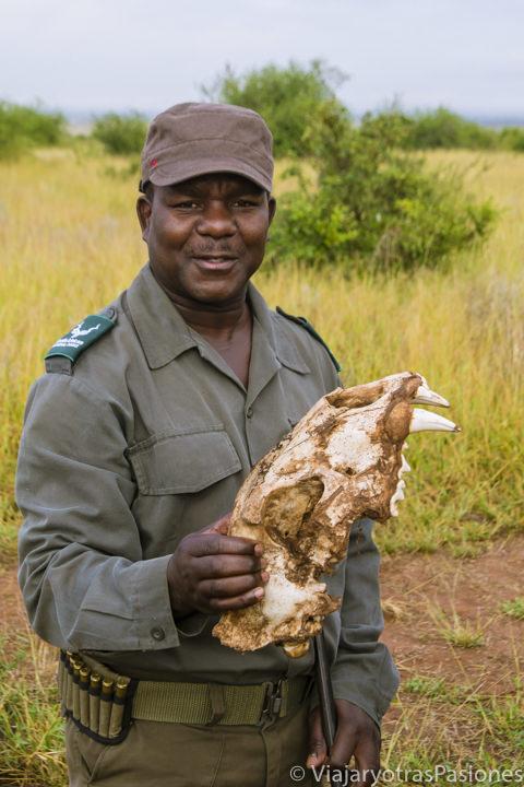 Calavera de un león en el safari en el Kruger por libre en Sudáfrica