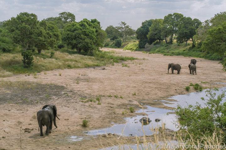Manada de elefantes en el parque Kruger en Sudáfrica