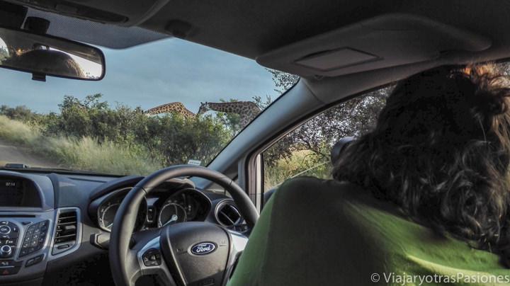 Haciendo fotos a Jirafas en coche en el Parque Kruger en conducir en Sudáfrica
