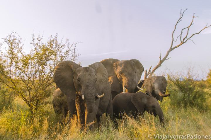 Manada de elefantes en el safari en el Kruger por libre en Sudáfrica