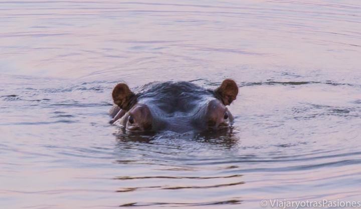 Hipopótamo saliendo el agua en el safari en el Kruger por libre en Sudáfrica