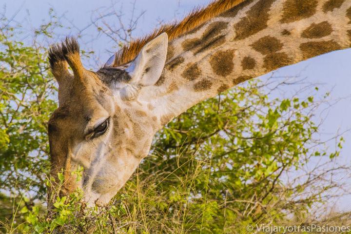 Primer plano de una jirafa comiendo en el Parque Kruger, Sudáfrica