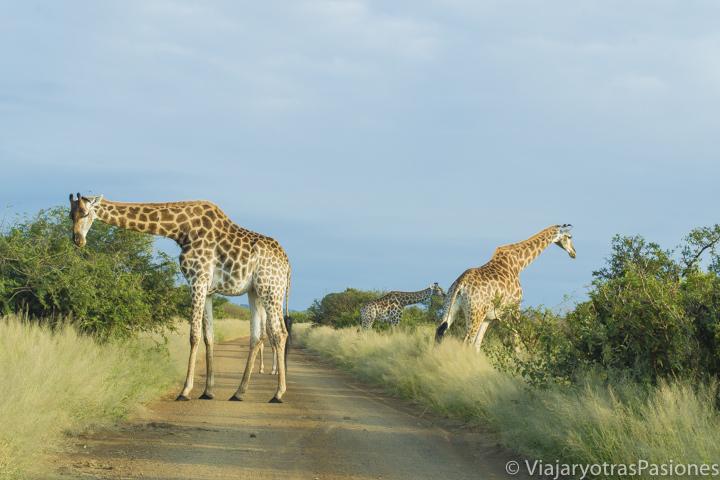 Momentos maravillosos cerca de jirafas en el Parque Kruger viajando en Sudáfrica por libre