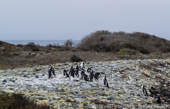 En la isla de Robben Island con pingüinos cerca de la playa en Ciudad del Cabo en Sudáfrica