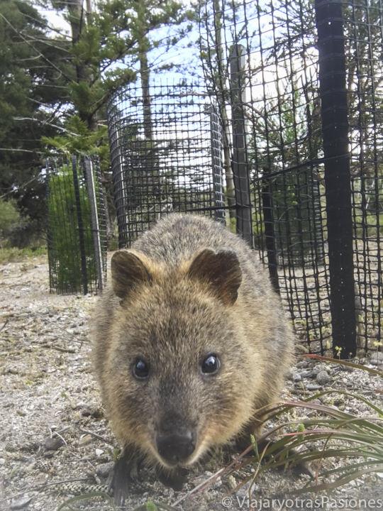 Frente a los quokkas en visitar Rottnest Island en western Australia