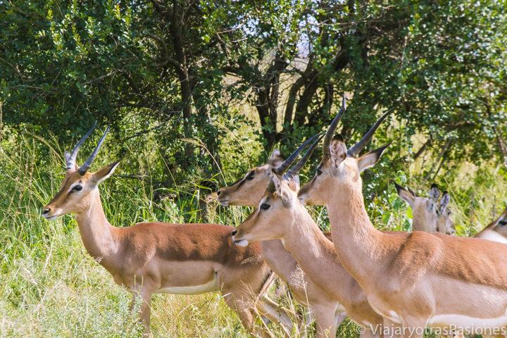 Manada de springbroks en el Parque Kruger, Sudáfrica