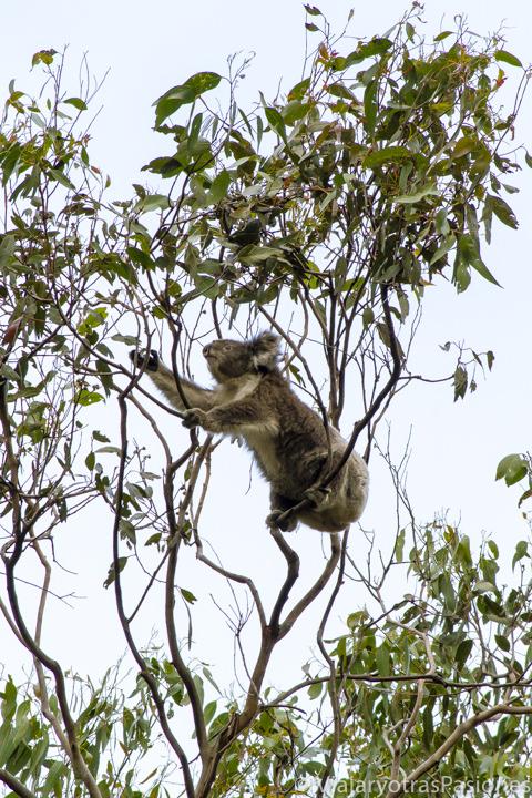 Koala en los eucaliptos de la Great Ocean Road en Kennett River en Australia