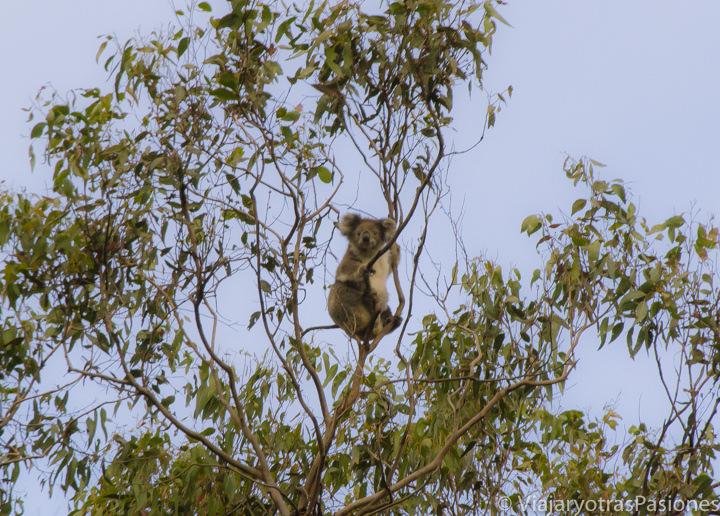 Koala en un árbol de eucalipto en la Great Ocean Road en Australia