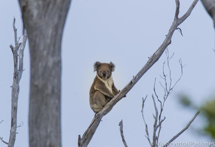 Bonito koala sobra un eucalipto en la Great Ocean Road en Australia