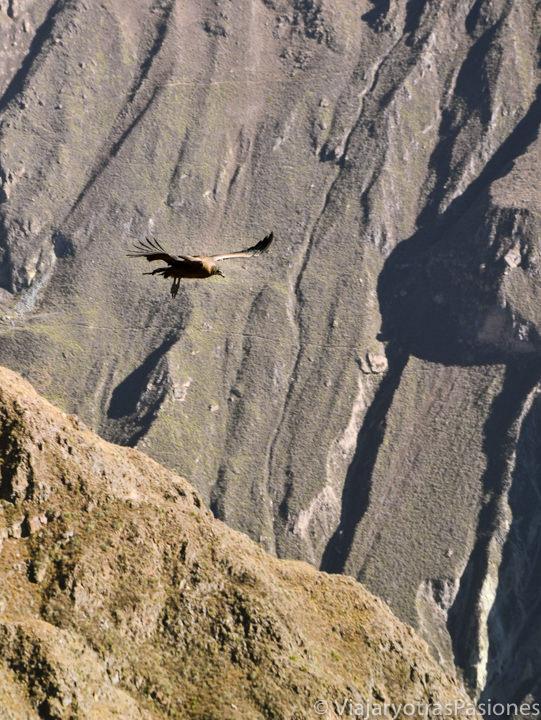 Un cóndor volando cerca de nosotros en el Cañòn del Colca en Perú