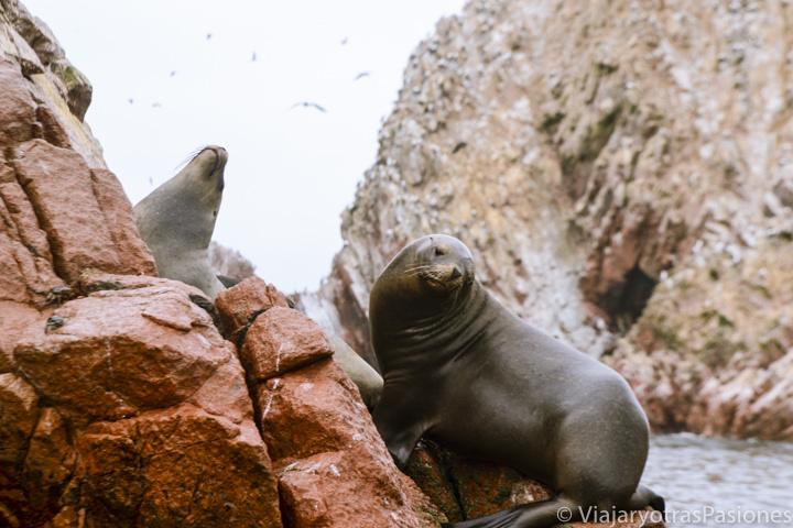 Imagen de cerca de leones marinos en las islas Ballestas en Perú