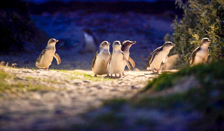 Pingüinos de la Penguin Parade en Phillip Island en Australia