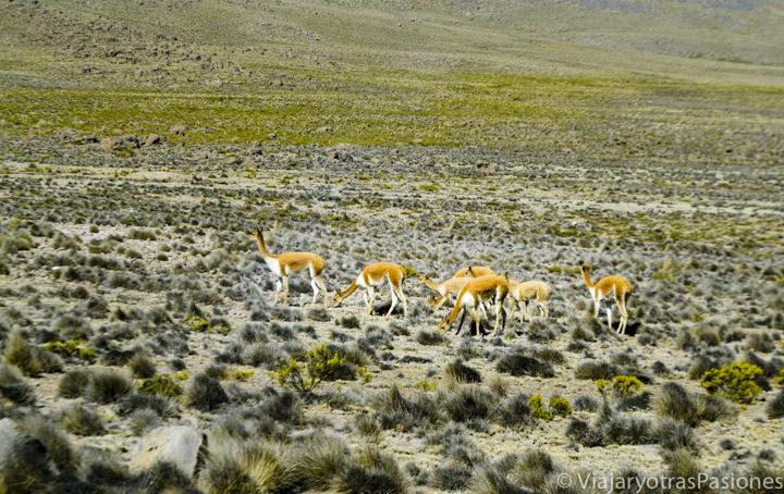 Manada de vicuñas en la Reserva de Salinas y Agua Blanca cerca de Arequipa en Perú