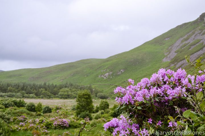 Detalle de flores en el Anillo de Kerry, al oeste de Irlanda
