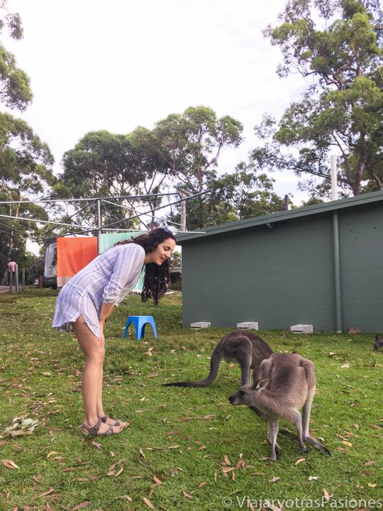Canguros en el camping de Bream Beach, en Jervis Bay, Australia