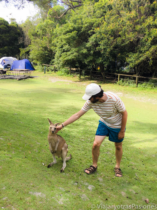 Acariciando un canguro cerca de Cave Beach, en Jervis Bay, Australia