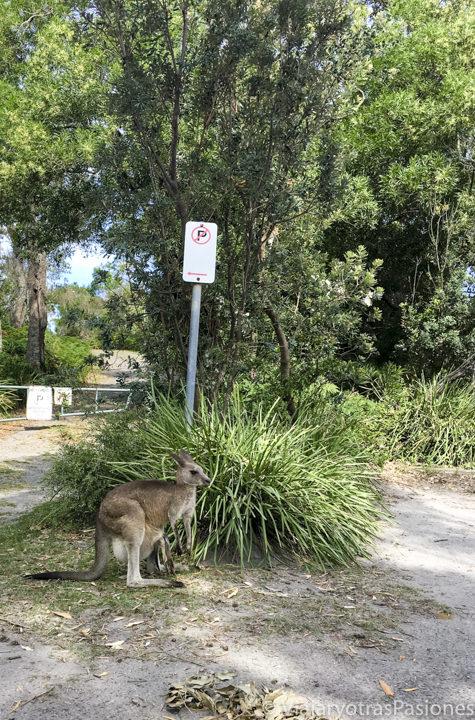 Un gracioso canguro en Jervis Bay, Australia