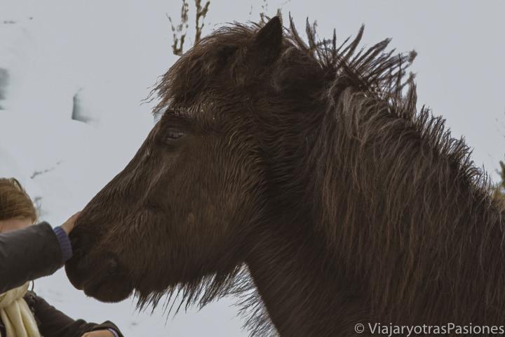 Primer plan de un hermoso típico caballo islandese