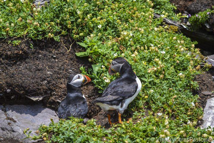 Frailecillos al visitar las islas Skellig, Irlanda
