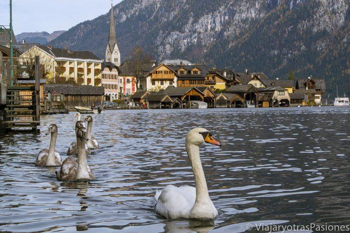 Un grupo de cisnes nada en el lago con el pueblo de Hallstatt al fondo, en los Alpes