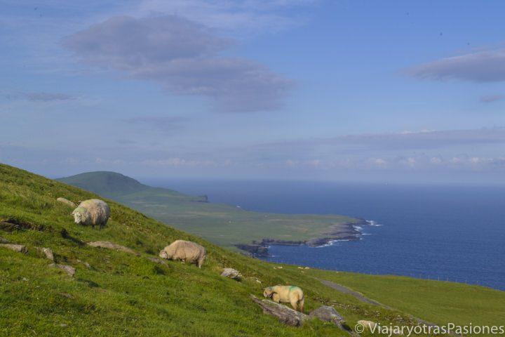 Panorámica de Valentia Island, con ovejas pastando tranquilamente en una colina en primer plano