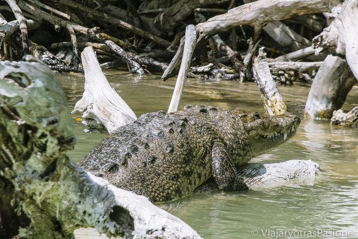 Vista de un gran cocodrilo en el Rio Lagartos en México