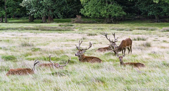 Manada de ciervos en Richmond Park en Londres, Inglaterra