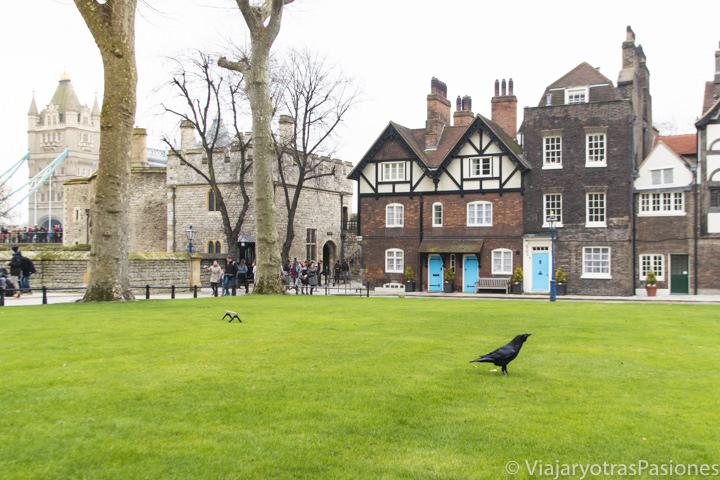 Cuervo en el Tower Green de la Torre de Londres, Inglaterra