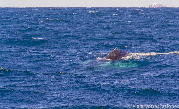 Imagen de una hermosa ballena jorobada frente a Sydney en el Oceano Pacifico, Australia