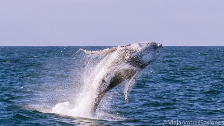 Espectacular salto de una ballena jorobada en el oceano frente a Sydney, Australia