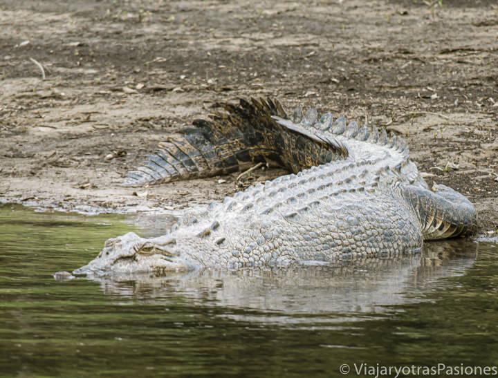 Imagen de un cocodrilo marino en el río Daintree, en una excursión desde Cairns, Australia
