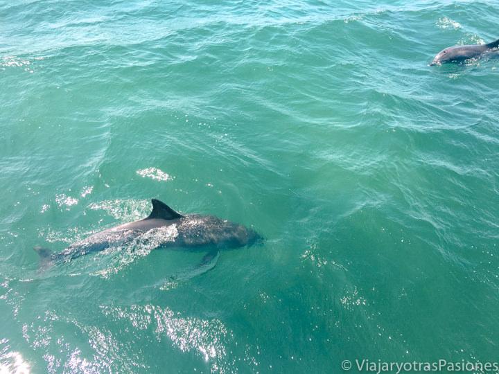 Dos delfines en el agua transparente de Port Stephens, Australia