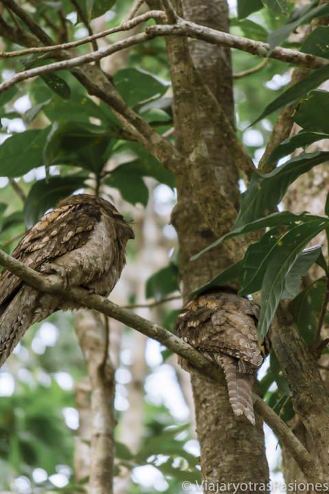 Pareja de típicos pajaros en la selva del Daintree River en Australia