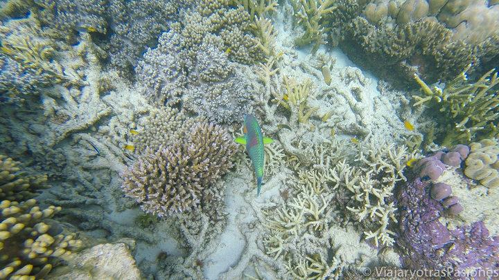 Pez multicolor en el hermoso coral de la Gran Barrera en Australia