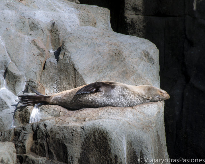 Imagen de una foca durmiendo cerca de Cape Hauy en Tasmania