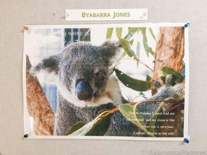 Imagen del koala Byabarra Jones, Australia