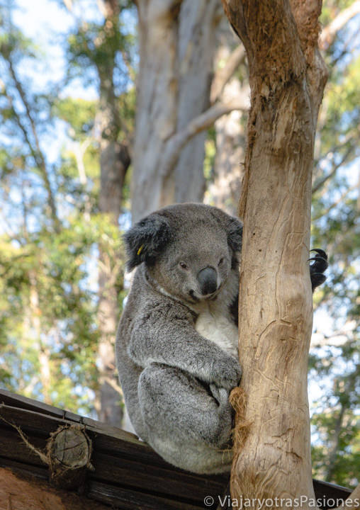Bonito koala en el Hospital de Koalas de Port Macquarie, Australia