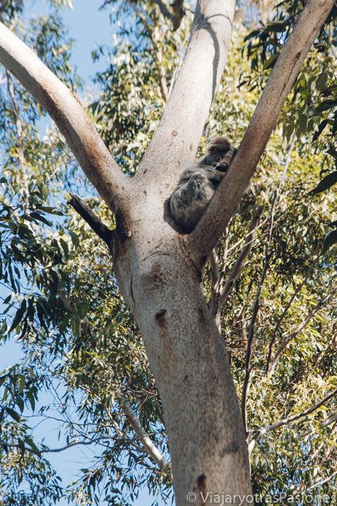 Koala sobra un eucalipto en el Hospital de Koalas de Port Macquarie, Australia