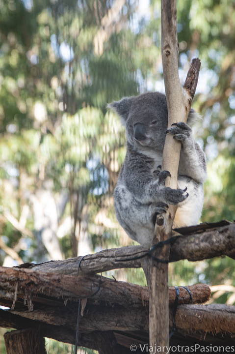 Koala descansando en el Hospital de Koalas de Port Macquarie, Australia