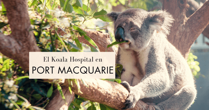 Visitar el Hospital de Koalas de Port Macquarie ¡y adoptar uno!
