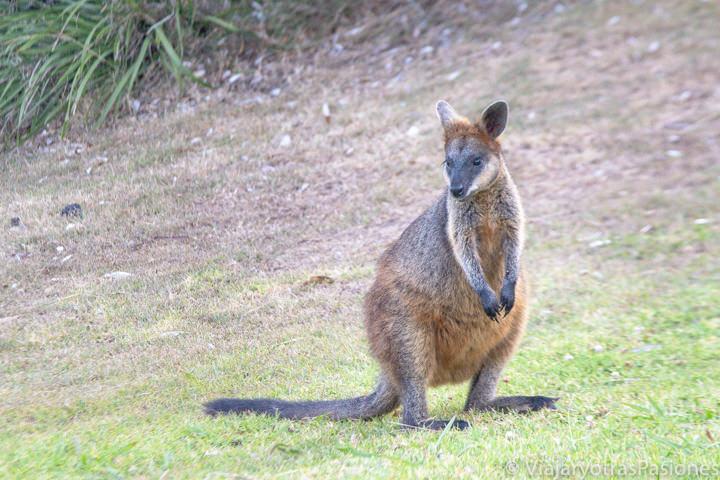 Bonito wallaby cerca del punto más al este de Australia en Byron Bay