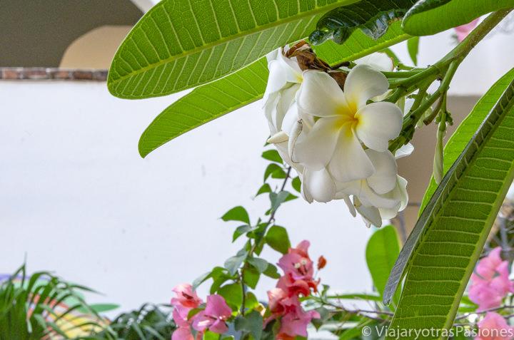 Bonito flor de Frangipani en Playa del Carmen, México