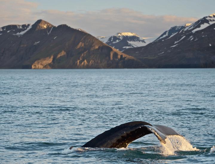 Espectacular imagen de una ballena en Islandia, cerca de Reikiavik