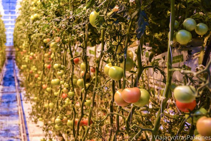 Vista de una plantación de tomates en Islandia